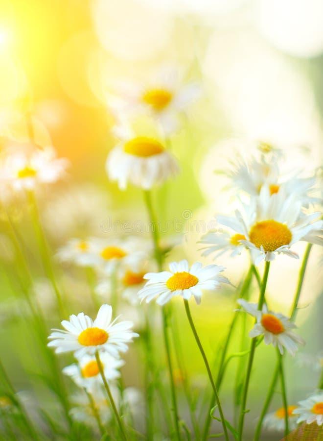 Стоцвет цветет граница Красивая сцена природы с зацветая медицинскими chamomilles Поле лета маргаритки стоковые изображения rf
