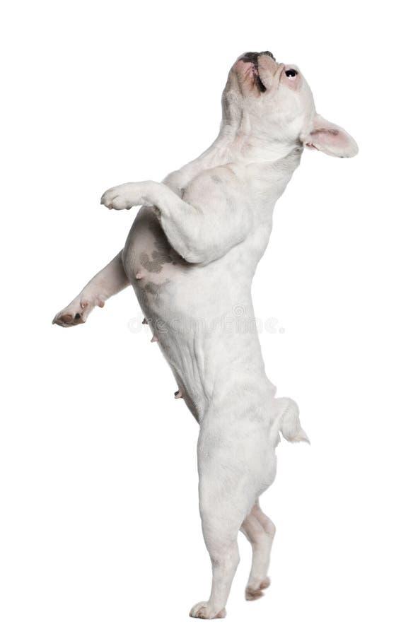 стоять задних ног бульдога французский стоковые фото