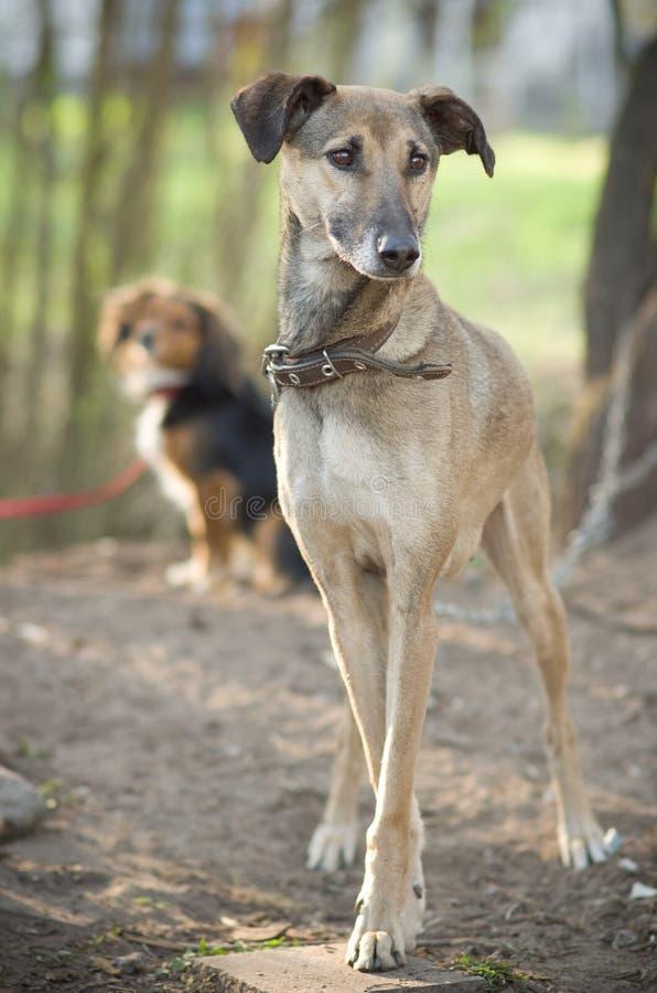 Стоять 2 собак стоковая фотография rf