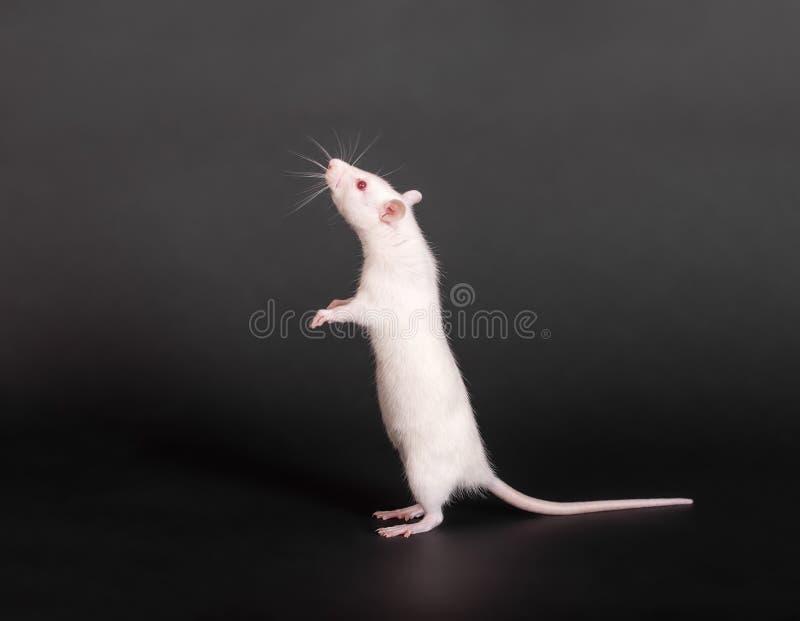Стоящая белая отечественная крыса стоковое изображение