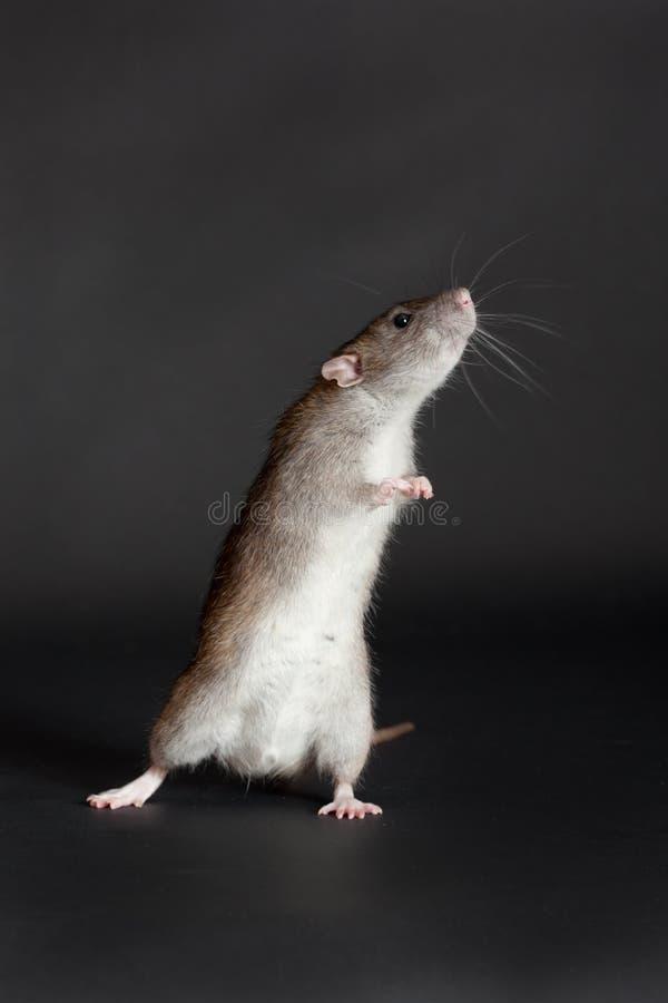 Стоящая коричневая отечественная крыса стоковое изображение