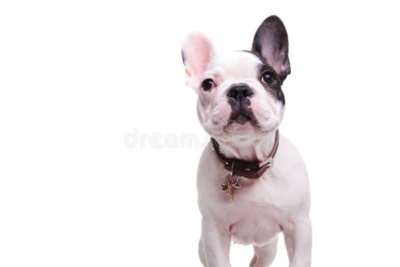 Стоящая маленькая собака щенка французского бульдога смотрит вверх стоковые фотографии rf
