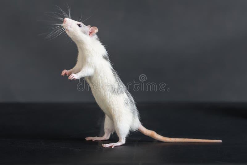Стоящая отечественная крыса стоковое изображение