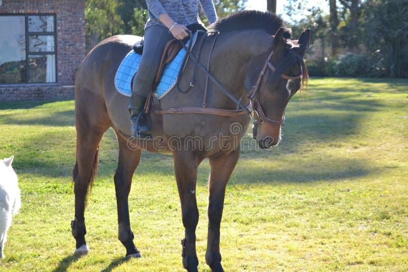 Стоящая лошадь стоковые изображения rf