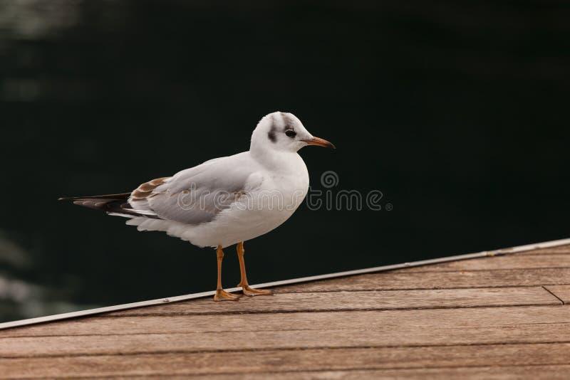 Стоящая чайка стоковая фотография