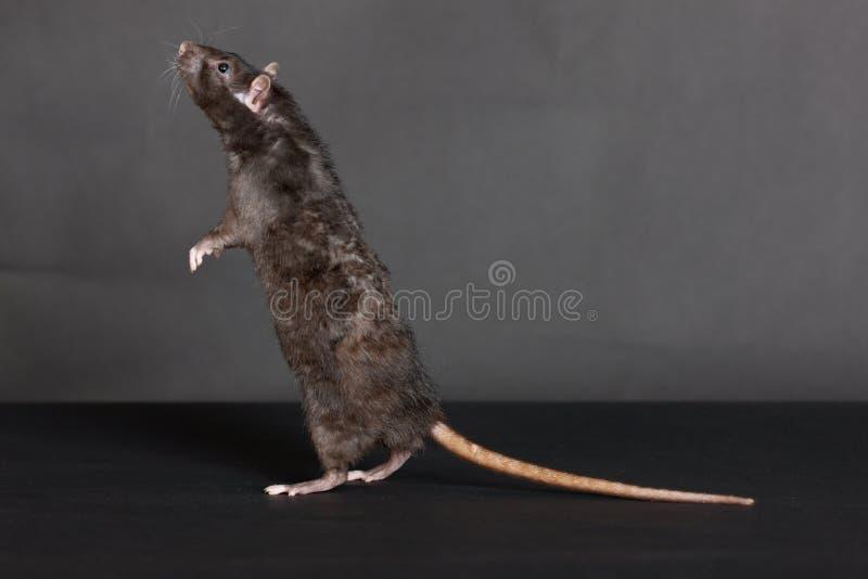 Стоящая черная крыса стоковое изображение