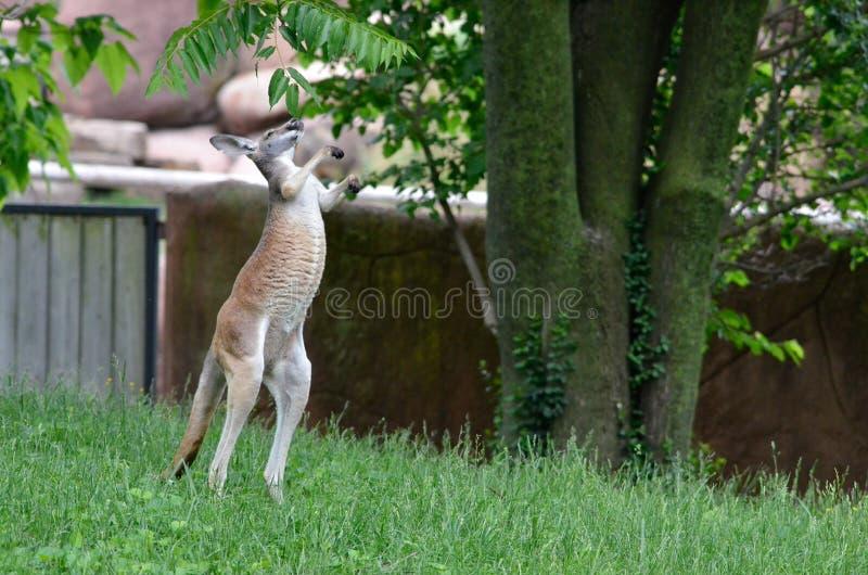Стоящий кенгуру стоковые фотографии rf