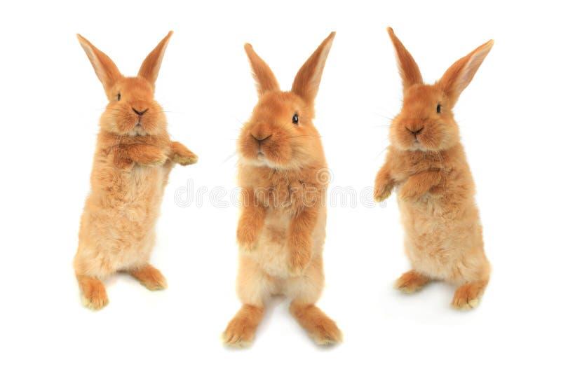Стоящий кролик стоковое фото rf