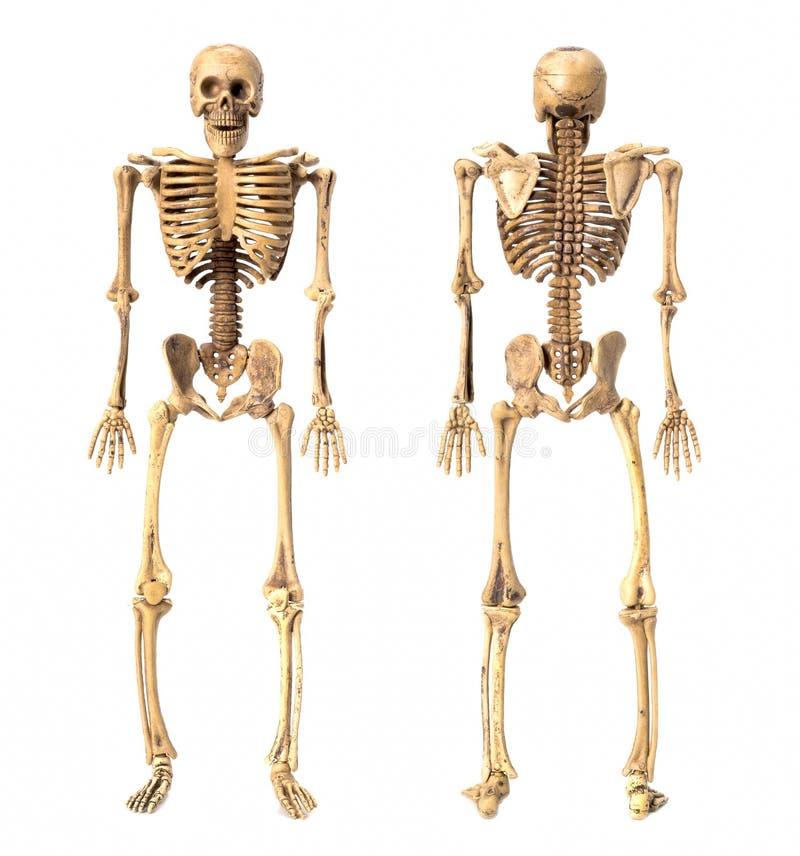 Стоящий скелет стоковые фотографии rf