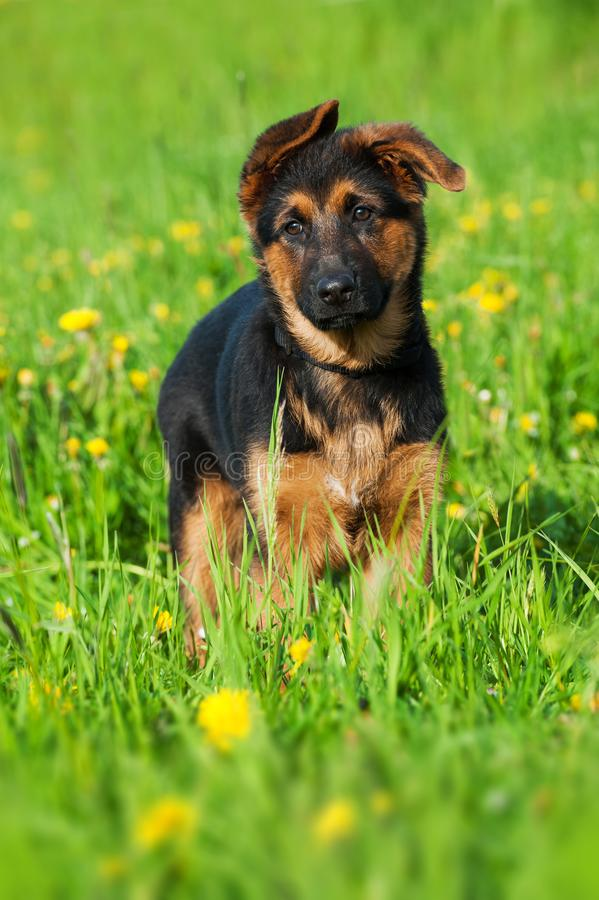 Стоящий щенок немецкой овчарки в природе стоковые фото