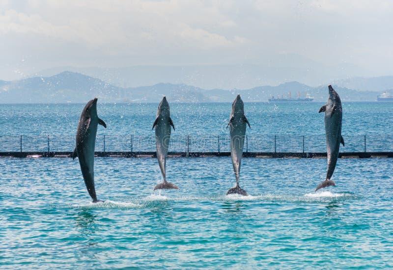 4 стоящих дельфина Бутылк-носа стоковые изображения