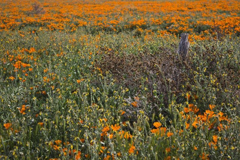 Столб загородки и маки Калифорнии стоковые фотографии rf