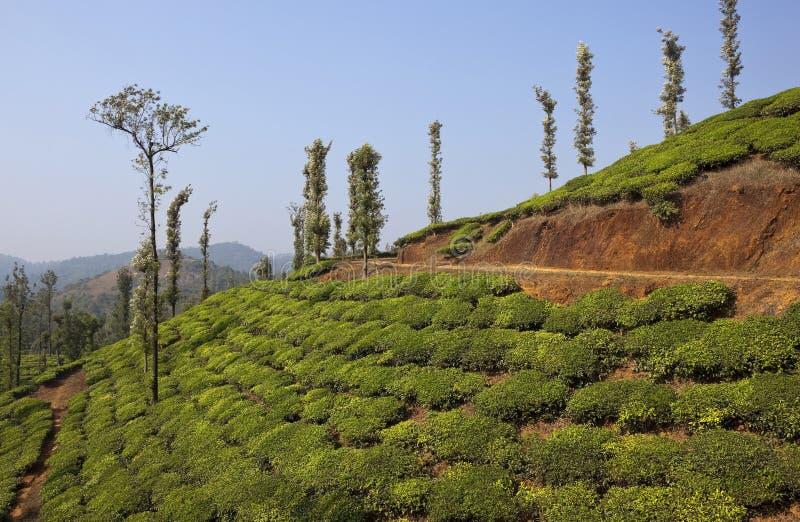 Страна чая Wayanad стоковое фото