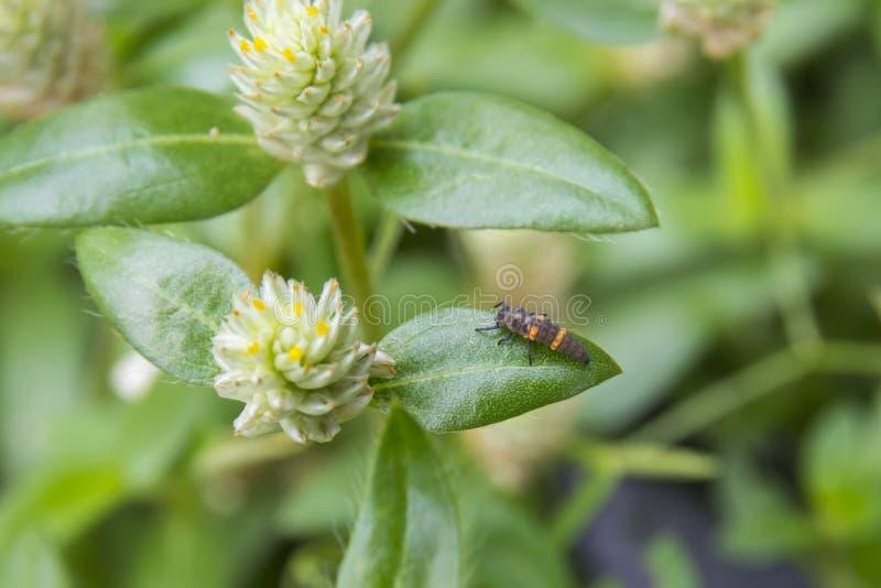 Странная личинка ladybug стоковое фото rf