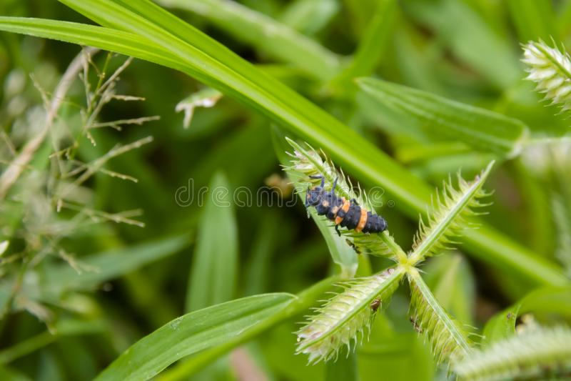 Странная личинка ladybug стоковое изображение rf