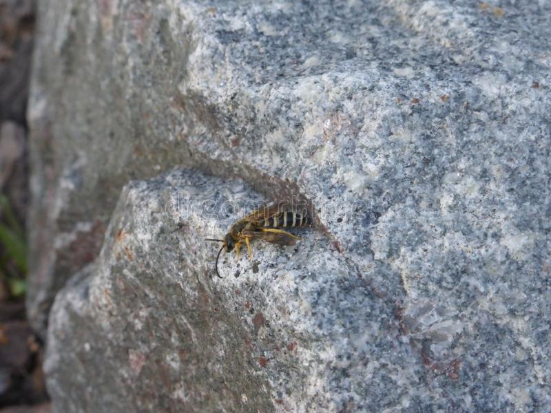 Странное насекомое на Балеарских островах стоковое изображение rf