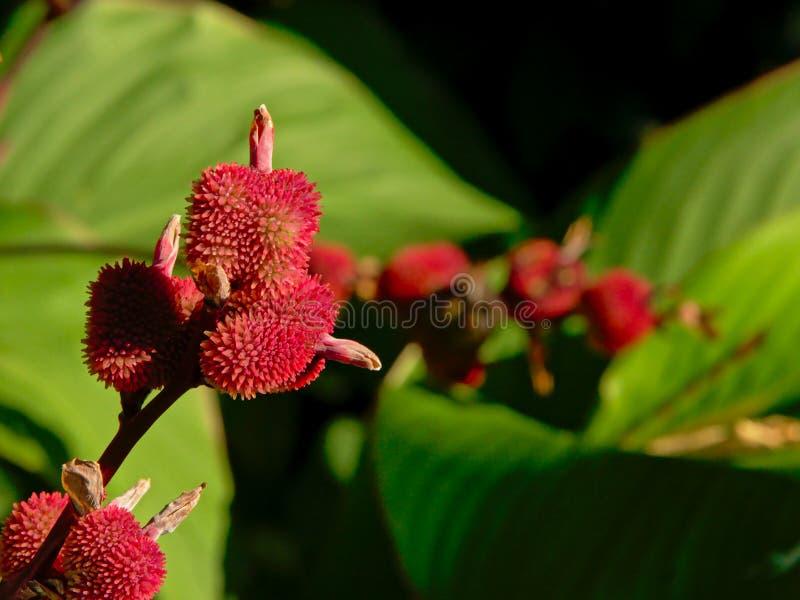 Странный красный плодоовощ на кустарнике стоковое изображение