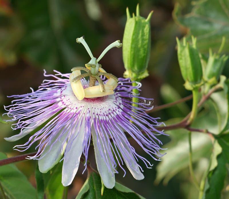 страсть цветка стоковое фото rf