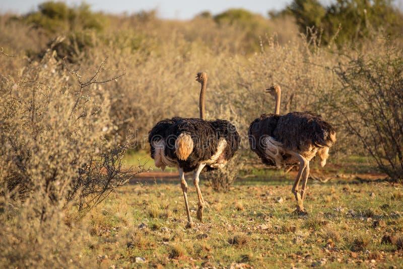 2 страуса бежать на африканской саванне стоковое изображение