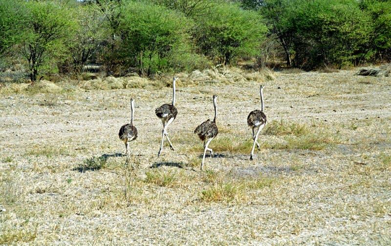 Страусы, Ботсвана стоковое фото