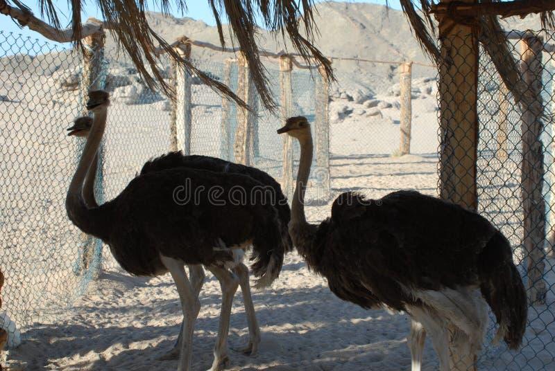 Страусы в зоопарке стоковые изображения