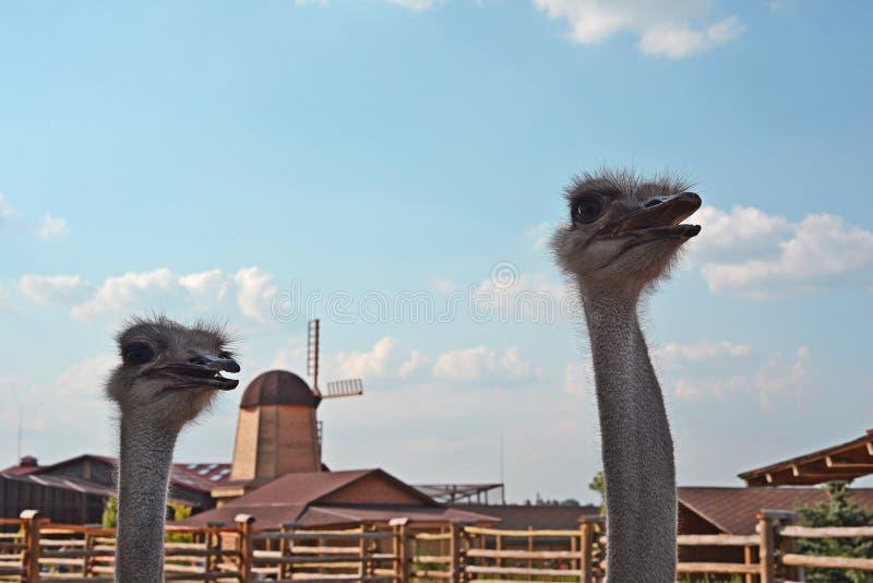 Страусы в зоопарке стоковое фото rf