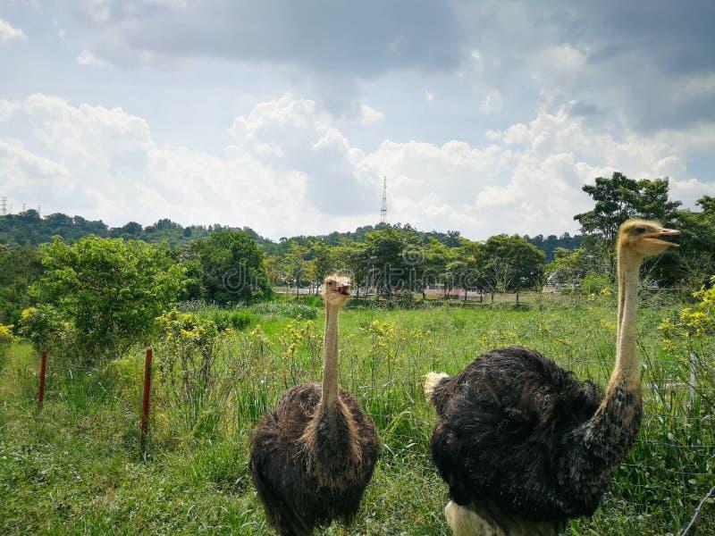 Страусы в ферме стоковое фото rf