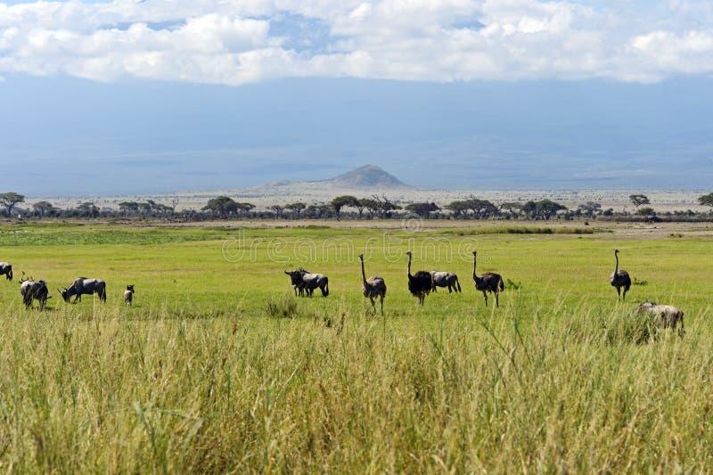 Страусы Килиманджаро стоковые изображения