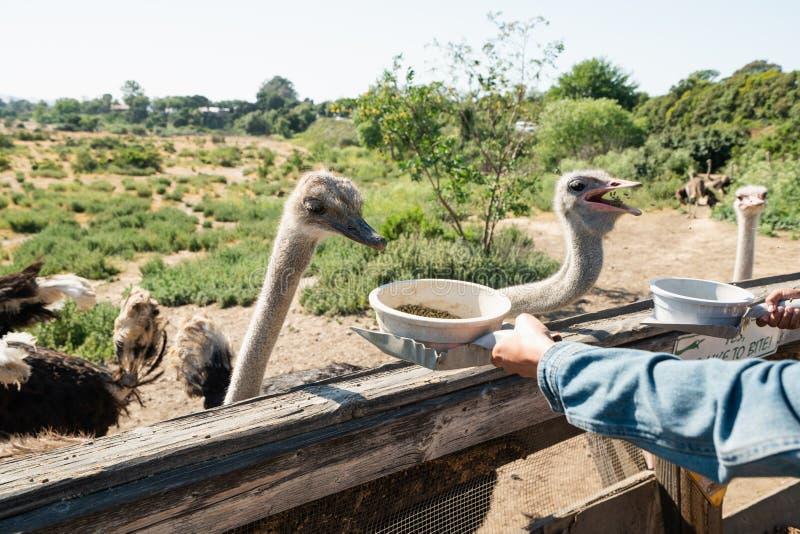Страусы Люди кормить животные Тренируют для еды птиц из шара Ферма страуса, Калифорния стоковые фотографии rf