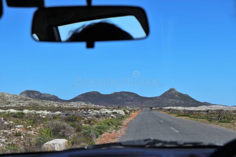Страусы на дороге на полуострове накидки в Южной Африке стоковые изображения rf