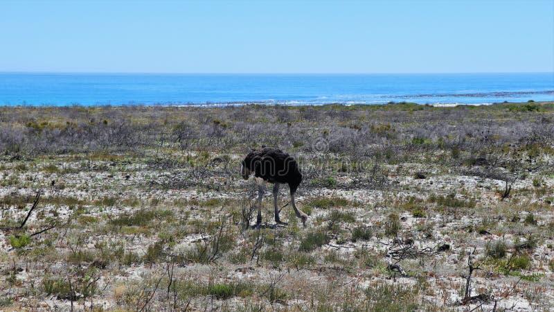 Страусы на полуострове накидки в Южной Африке стоковое фото rf