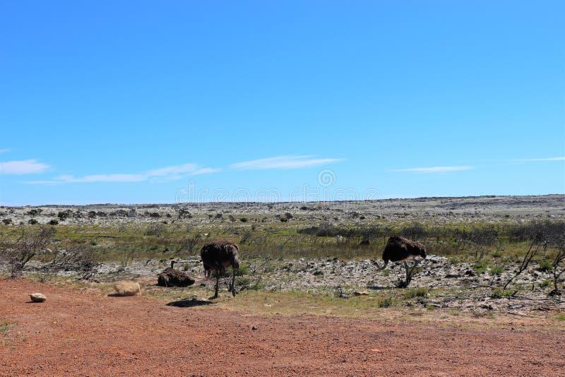 Страусы на полуострове накидки в Южной Африке стоковое фото