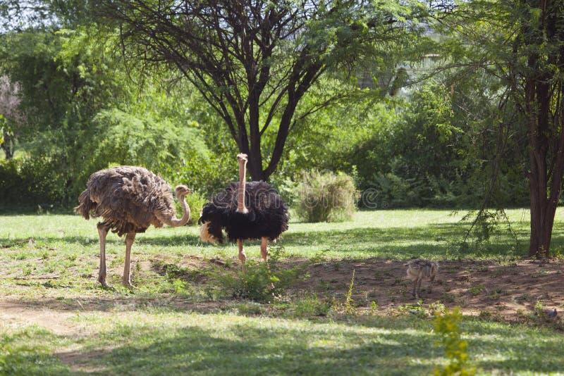 Страусы около Bogoria, Кении стоковое изображение