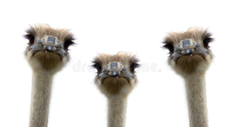 страусы предпосылки изолированные группой белые стоковая фотография rf