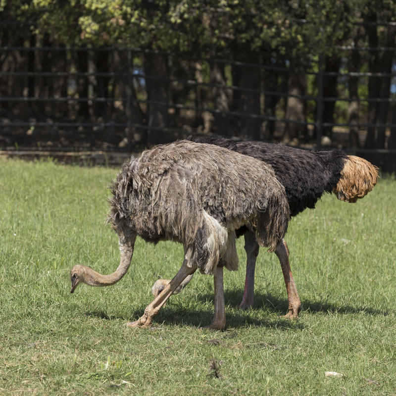 страусы стоковое фото