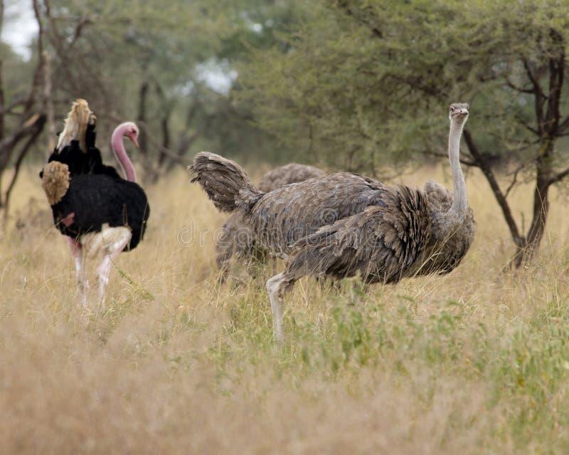 страусы стоковые фотографии rf