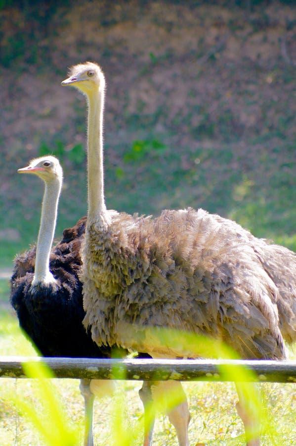 страусы стоковая фотография rf
