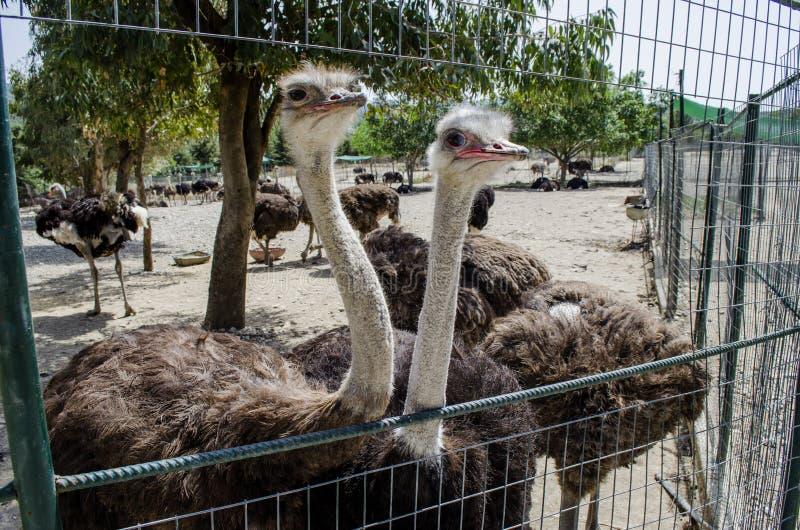 страусы стоковое изображение rf