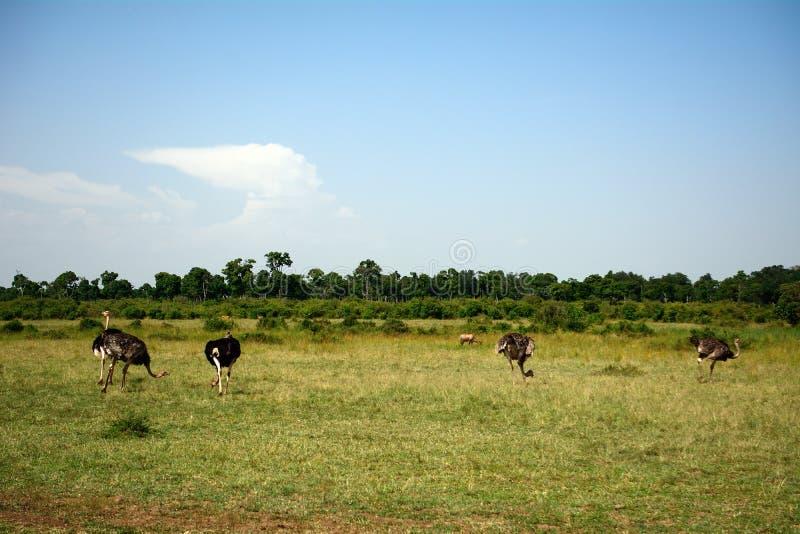 Страусы Maasai, запас игры Maasai Mara, Кения стоковое изображение