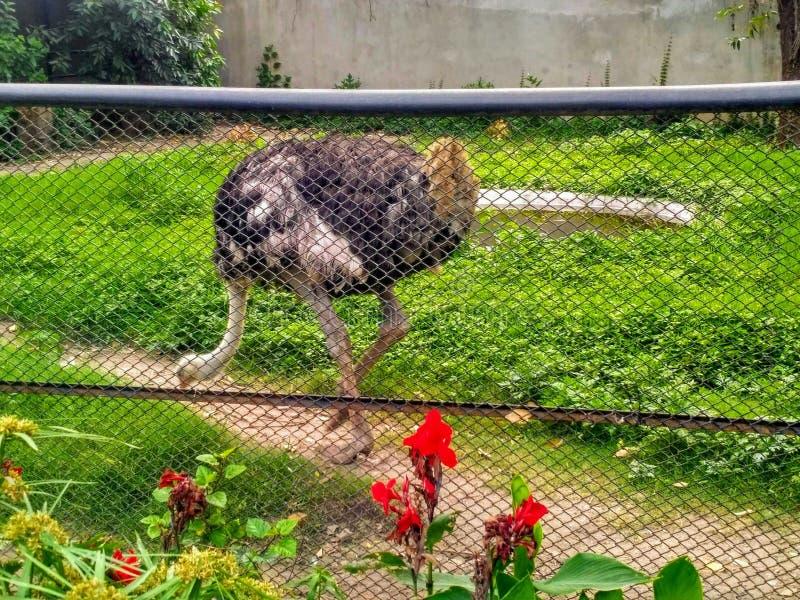 Страус в зоопарке стоковые изображения rf