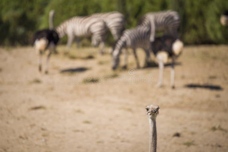 Страус в национальном парке стоковые фотографии rf