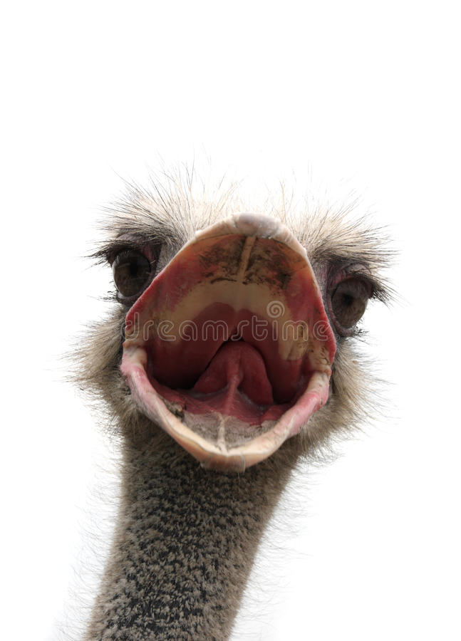 страус клюва открытый стоковая фотография rf