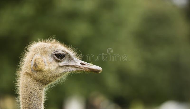 страус природы стоковые фото