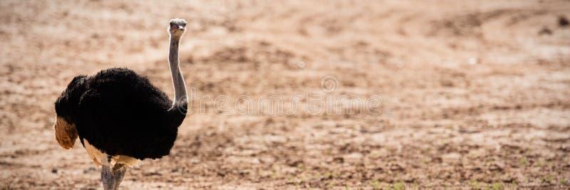 Страус стоя на пылевоздушной земле стоковые изображения