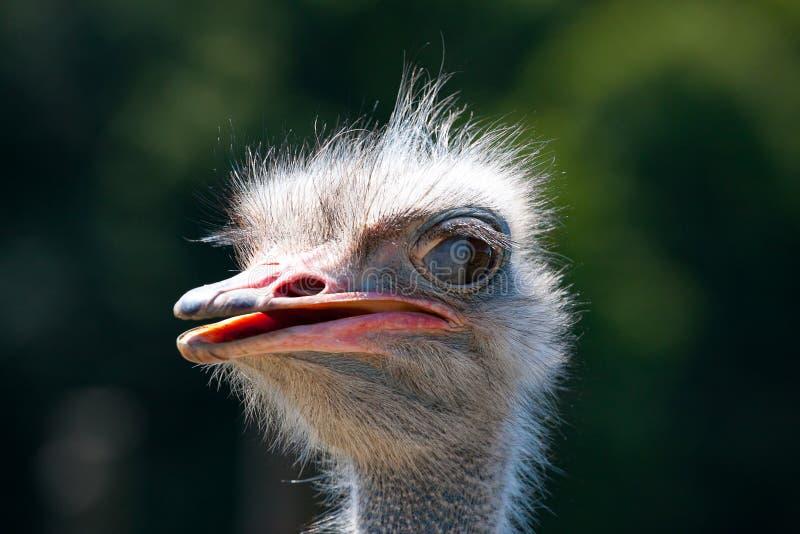 Страус страуса head Конец портрета птицы передний вверх стоковое фото