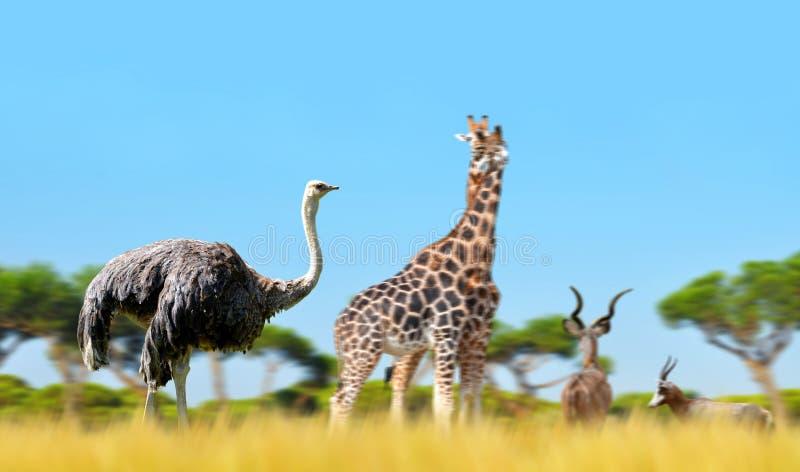 Страус с жирафами и антилопами на саванне стоковые фото