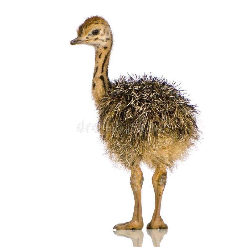 страус цыпленока