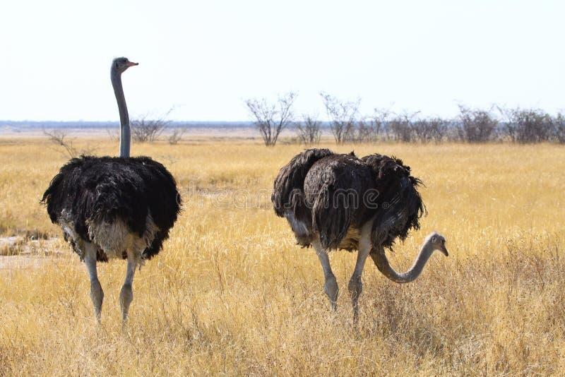 страус стоковое изображение rf