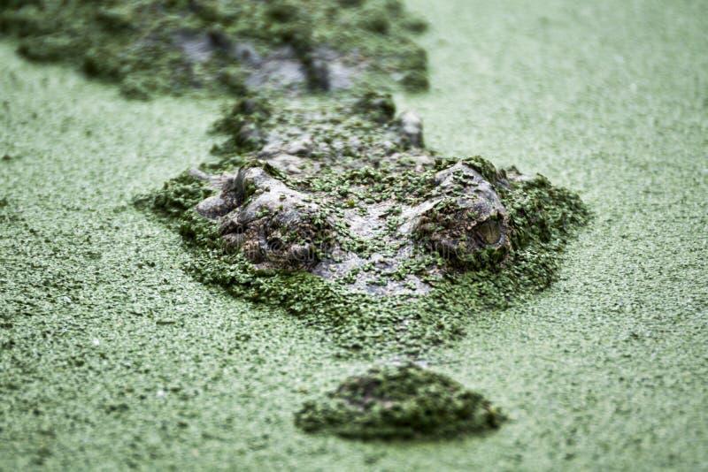 Страшный крокодил стоковые изображения