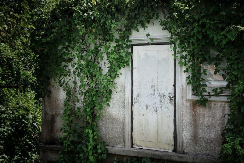 Страшный получившийся отказ дом с взбираясь заводом или зеленым плющом покрыл крышу и стену с закрытой старой белой деревянной дв стоковое изображение